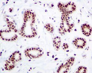Immunohistochemistry (Formalin/PFA-fixed paraffin-embedded sections) - Anti-HMGB2 antibody [EPR6301] - BSA and Azide free (ab239992)