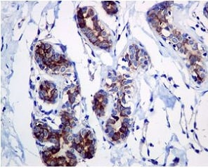 Immunohistochemistry (Formalin/PFA-fixed paraffin-embedded sections) - Anti-Adenosine A1 Receptor antibody [EPR6179] - BSA and Azide free (ab239997)