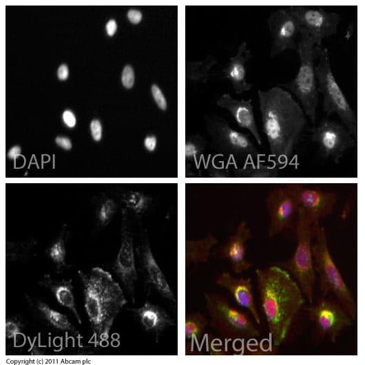 Immunocytochemistry/ Immunofluorescence - Anti-LAMP1 antibody - Lysosome Marker (ab24170)