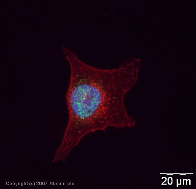 Immunocytochemistry/ Immunofluorescence - Anti-ASF1A antibody (ab24171)