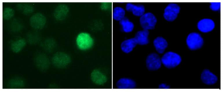 Immunocytochemistry/ Immunofluorescence - Anti-Histone H1.3 antibody (ab24174)