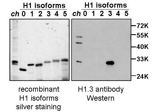Western blot - Anti-Histone H1.3 antibody (ab24174)