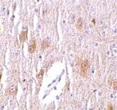 Immunohistochemistry (Formalin/PFA-fixed paraffin-embedded sections) - Anti-TRIM5 delta antibody (ab24181)