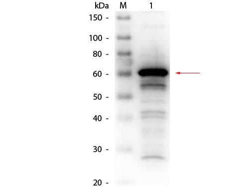 Western blot - Biotin Anti-Human Serum Albumin antibody (ab24207)