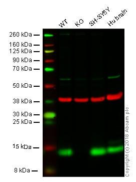 Western blot - Anti-FKBP12 antibody (ab24373)