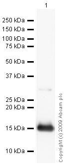 Western blot - Anti-TBC1D4 antibody (ab24469)