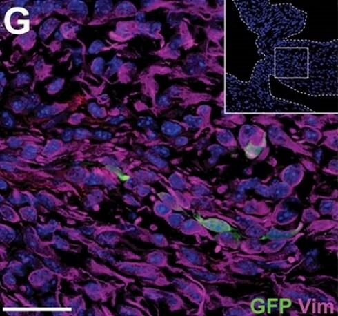 Immunohistochemistry (Frozen sections) - Anti-Vimentin antibody (ab24525)