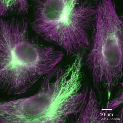 Immunocytochemistry - Anti-alpha Tubulin (acetyl K40) antibody [6-11B-1] (ab24610)