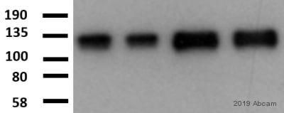 Western blot - Anti-Integrin beta 1 antibody [P5D2] (ab24693)
