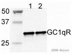 Western blot - Anti-GC1q R antibody [60.11] (ab24733)