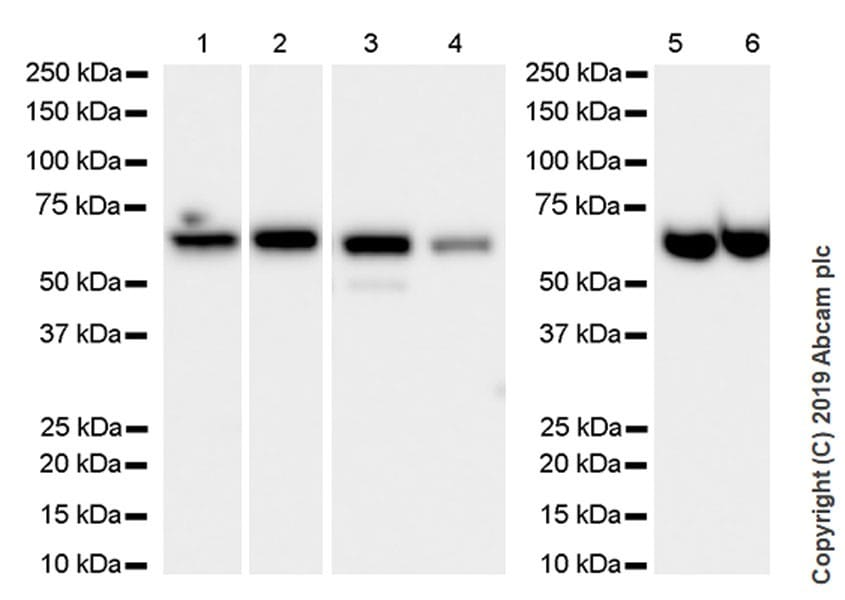 Western blot - Anti-PPP2R1A antibody [6G3] (ab24736)