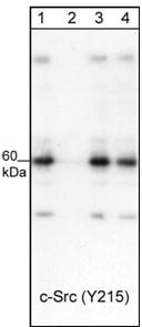 Western blot - Anti-Src (phospho Y215) antibody (ab24789)