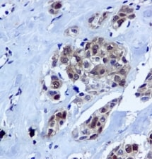 Immunohistochemistry (Formalin/PFA-fixed paraffin-embedded sections) - Anti-HINT1 antibody [EPR5108] - BSA and Azide free (ab240007)