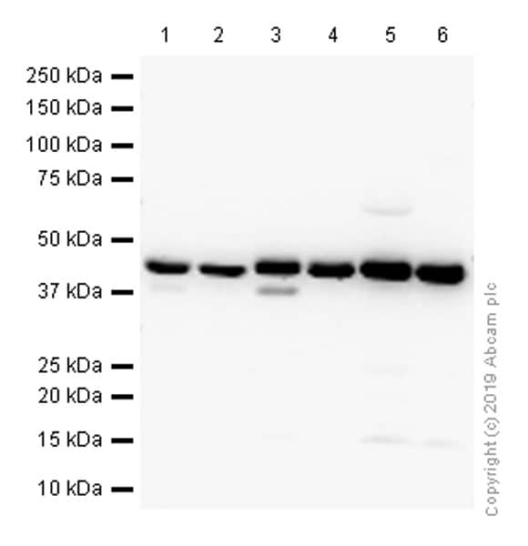 Western blot - Anti-HLA-C antibody [EPR6749] - BSA and Azide free (ab240027)