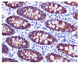 Immunohistochemistry (Formalin/PFA-fixed paraffin-embedded sections) - Anti-Monoamine Oxidase A/MAO-A antibody [EPR7101] - BSA and Azide free (ab240031)