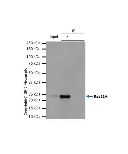 Immunoprecipitation - Anti-Rab11A antibody [EPR7587(B)] - BSA and Azide free (ab240036)