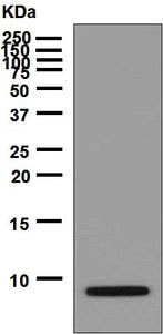 Western blot - Anti-proCNP antibody [EPR6543] - BSA and Azide free (ab240043)