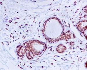 Immunohistochemistry (Formalin/PFA-fixed paraffin-embedded sections) - Anti-Lamin A + Lamin C antibody [EP4520-16] - BSA and Azide free (ab240053)