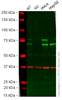 Western blot - Anti-Lamin A + Lamin C antibody [EP4520-16] - BSA and Azide free (ab240053)