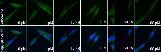 Immunocytochemistry/ Immunofluorescence - Anti-Ionotropic Glutamate receptor 2 antibody [EPR5032] - BSA and Azide free (ab240061)