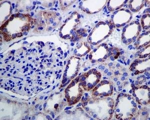Immunohistochemistry (Formalin/PFA-fixed paraffin-embedded sections) - Anti-Lipoamide Dehydrogenase antibody [EPR6635] - BSA and Azide free (ab240067)