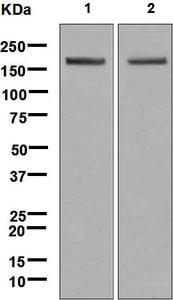 Western blot - Anti-Gli1 antibody [EPR4523] - BSA and Azide free (ab240088)