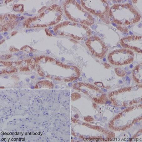 Immunohistochemistry (Formalin/PFA-fixed paraffin-embedded sections) - Anti-SDHA antibody [EPR9043(B)] - BSA and Azide free (ab240098)