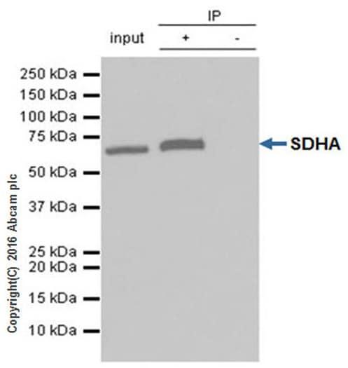 Immunoprecipitation - Anti-SDHA antibody [EPR9043(B)] - BSA and Azide free (ab240098)