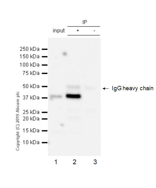 Immunoprecipitation - Anti-DARC antibody [EPR5205] - BSA and Azide free (ab240100)