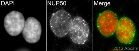 Immunocytochemistry/ Immunofluorescence - Anti-NUP50 antibody [EPR9526] - BSA and Azide free (ab240104)