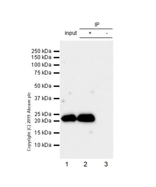 Immunoprecipitation - Anti-RAB22A antibody [EPR9486] - BSA and Azide free (ab240105)