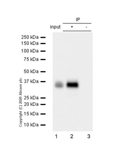 Immunoprecipitation - Anti-delta Sarcoglycan antibody [EPR8706] - BSA and Azide free (ab240108)