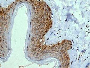 Immunohistochemistry (Formalin/PFA-fixed paraffin-embedded sections) - Anti-Integrin alpha 9 antibody [EPR9722] - BSA and Azide free (ab240116)