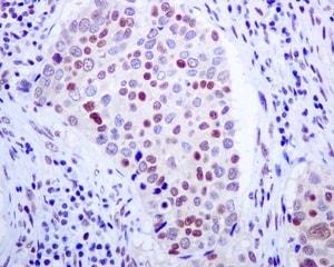 Immunohistochemistry (Formalin/PFA-fixed paraffin-embedded sections) - Anti-E2F4 antibody [EPR8259] - BSA and Azide free (ab240118)