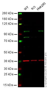 Western blot - Anti-KMT6 / EZH2 antibody [EPR9307] - BSA and Azide free (ab240119)