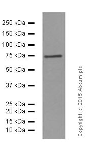 Western blot - Anti-CD204 antibody [EPR7536] - BSA and Azide free (ab240122)