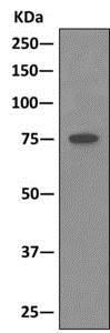 Immunoprecipitation - Anti-Cullin 2/CUL-2 antibody [EPR3104(2)] - BSA and Azide free (ab240149)