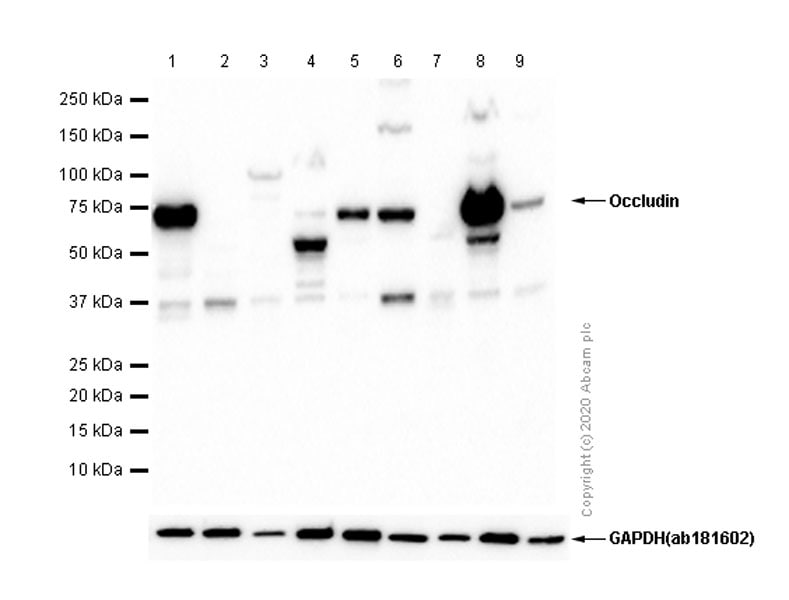 Western blot - Anti-Occludin antibody [EPR8208] - BSA and Azide free (ab240150)