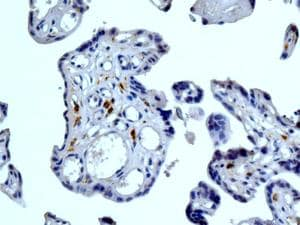 Immunohistochemistry (Formalin/PFA-fixed paraffin-embedded sections) - Anti-DC-SIGNR antibody [EPR11211] - BSA and Azide free (ab240156)