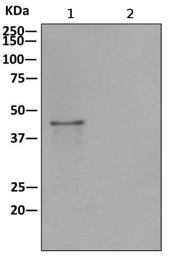 Immunoprecipitation - Anti-NELFe antibody [EPR11600] - BSA and Azide free (ab240158)
