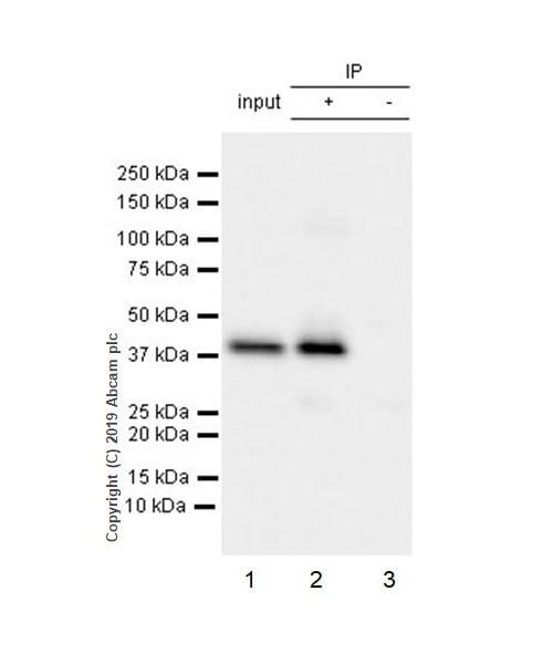 Immunoprecipitation - Anti-FABP-1 antibody [EPR12354(B)] - BSA and Azide free (ab240164)