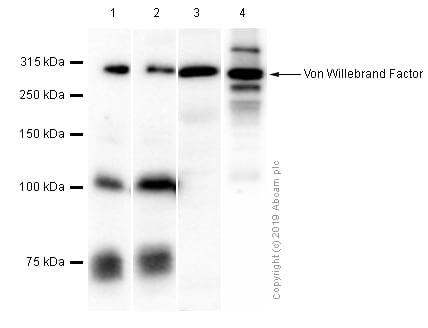 Western blot - Anti-Von Willebrand Factor antibody [EPR12011] - BSA and Azide free (ab240177)