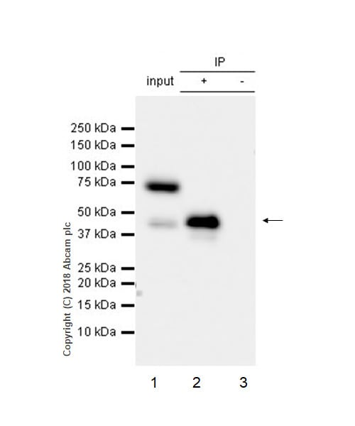 Immunoprecipitation - Anti-NDRG2 antibody [EPR11910] - BSA and Azide free (ab240181)