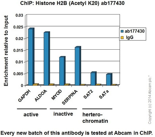 ChIP - Anti-Histone H2B (acetyl K20) antibody [EPR859] - BSA and Azide free (ab240198)