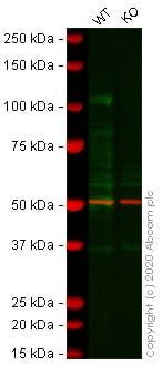 Western blot - Anti-PML Protein antibody [EPR16792] - BSA and Azide free (ab240213)