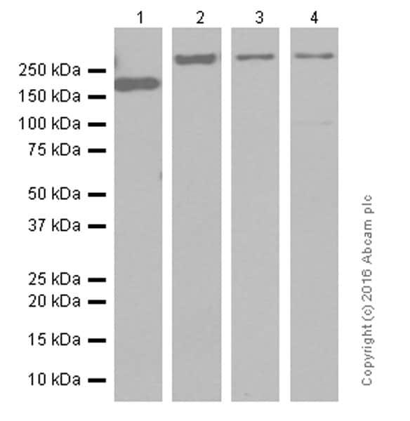 Western blot - Anti-CACNA1A antibody [EPR4458(N)] - BSA and Azide free (ab240251)