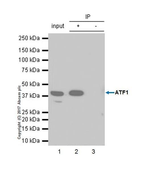 Immunoprecipitation - Anti-ATF1 antibody [EPR17028] - BSA and Azide free (ab240253)