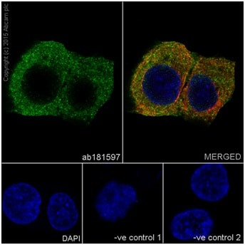 Immunocytochemistry/ Immunofluorescence - Anti-Cytokeratin 18 antibody [EPR17347] - BSA and Azide free (ab240254)