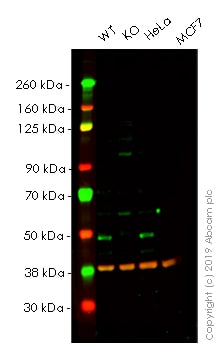 Western blot - Anti-SKP2 antibody [EPR3305(2)] - BSA and Azide free (ab240263)