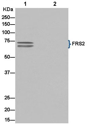 Immunoprecipitation - Anti-FRS2 antibody [EPR14724] - BSA and Azide free (ab240269)